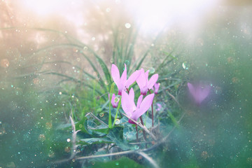 low angle view of and abstract dreamy image of cyclamen flowers blooming in the forest