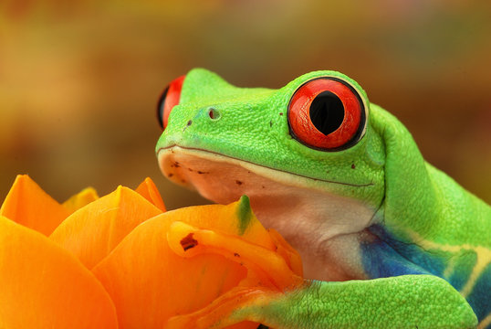 Portrait of a green tree frog with red eyes on a beige background. Red-Eye Sight