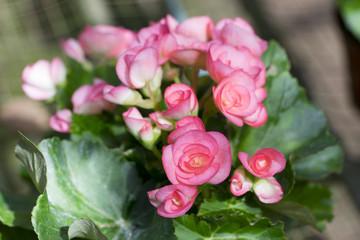 Pink Begonia Flower Closeup