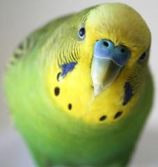 Cute Male Green Parakeet Close up Stock Photo