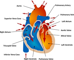 Vessels and Blood Circulation