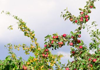 A branch with red apples