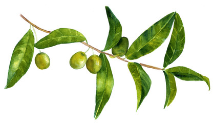 Vintage style drawing of branch of green olives on white backround