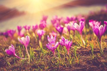 Blooming spring flowers crocus as soon as snow descends in sunlight.