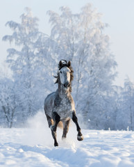 Fototapete - Grey Andalusian horse gallops on snowfield