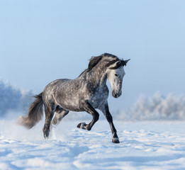 Fototapete - Grey Spanish horse gallops on snowfield