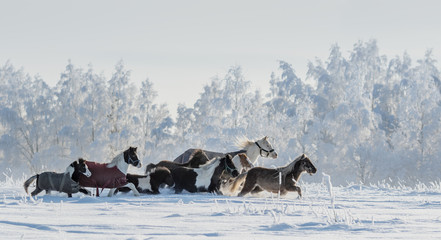 Wall Mural - Herd of ponies and miniature horses on snowfield