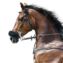 Fototapete - Portrait of a sports stallion in a hackamore. Isolated on white.
