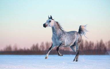 Wall Mural - Grey Arabian stallion on winter snowfield at sunset