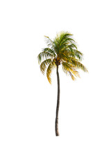 Coconut palm tree on white isolated background with clipping pat