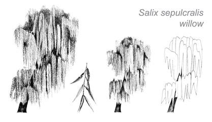 vector drawing of willow (Salix sepulcralis)