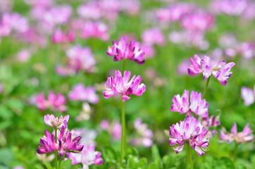 レンゲ 春 花, vetch flowers in farm, spring in Japan.