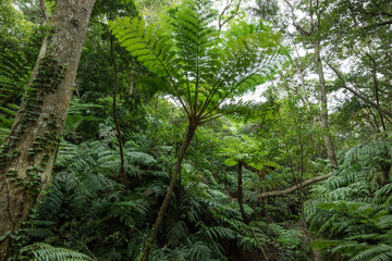 Jungle with tropical tree ferns, Okinawa, Japan