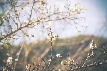 White Peach flower Blossom