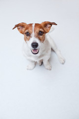 jack russell terrierthe white background