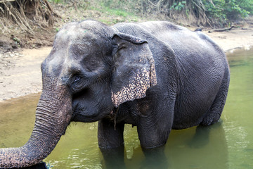 Young Thai elephant at the watering on the River Kwai in Thailand.