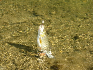to catch a chub
