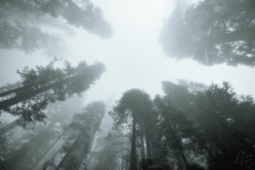 Giant tree in fog
