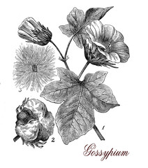Vintage print of cotton plant (gossypium) botanical morphology: leaves,flowers and seeds in a capsule surrounded by staples used for weaving.