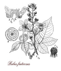 Blackberry or raspberry plant, botanical vintage engraving