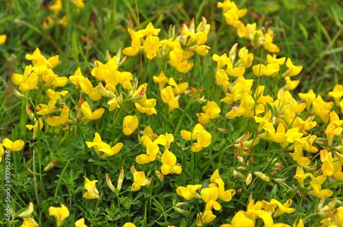 Background flowering yellow broom flower stock photo and royalty background flowering yellow broom flower mightylinksfo