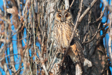 Long-eared owl perched on a poplar tree