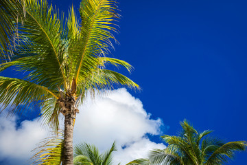 Green coconut palm trees on dark blue sky with white clouds. Pho