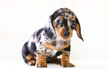 Puppy dachshund who turned a half months