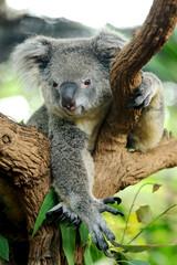 Cute Koala bear on tree
