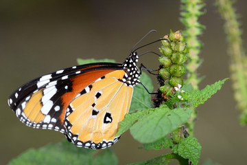 Monarch Butterfly with beauty wing on the flower