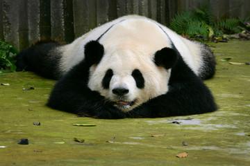 Giant panda bear cute sleeping Chengdu, China
