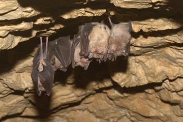 Groups of sleeping bats in cave - Lesser mouse-eared bat (Myotis blythii) and (Rhinolophus hipposideros) - Lesser Horseshoe Bat