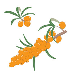 Fresh ripe sea buckthorn berries on a branch with leaves. Natural medicine, medical herb. Vector illustration. Design element.