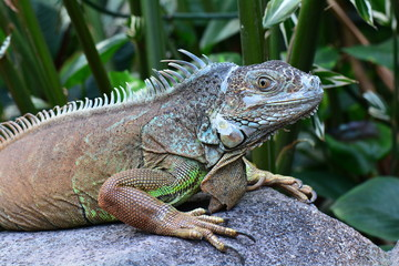 An iguana poses for its portrait in the gardens.
