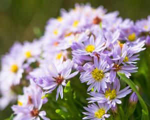 Sea aster (Tripolium pannonicum). A mauve flower common around British and European coasts, in the daisy family (Asteraceae)