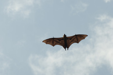 Indian Flying Fox - Sri Lanka