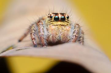 jumping spider,