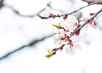 Apricot tree flowers. Spring white flowers on a tree branch. Apricot tree in bloom. Spring, seasons, time of year. White flowers of apricot tree