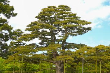 Pine - Karasaki Matsu(Kenrokuen, Ishikawa Pref.)
