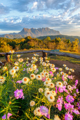 Beautiful mountain Doi Luang Chiang Dao in the foreground blooming wildflowers at sunrise, Chiang Mai Province, Thailand