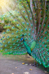 Indian peacock ( Pavo cristatus ) peafowl