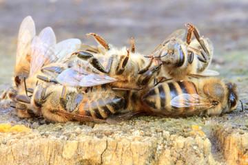 Petit tas d'abeilles mortes