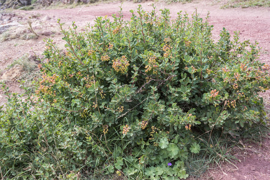 European Barberry, Berberis vulgaris. Photo taken in Saliencia Valley, Somiedo Nature Reserve. It is located in the central area of the Cantabrian Mountains, Asturias, Spain