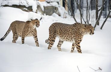 Пара гепардов