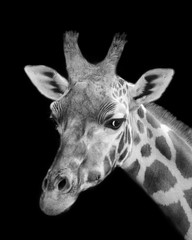 Black And White Giraffe Portrait