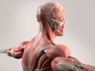 Human anatomy showing face, head, shoulders and back muscular system, bone structure and vascular system.