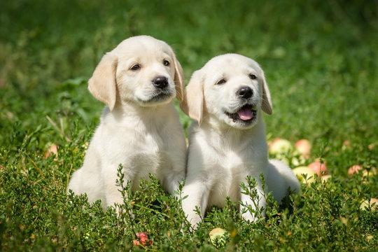 маленькие щенки лабрадора ретривера сидят на газоне