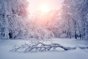 Beautiful winter nature landscape, trees covered snow