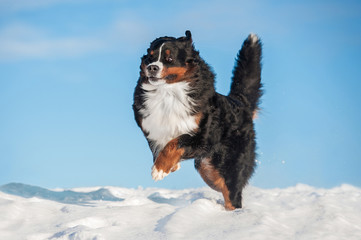 Bernese mountain dog playing in winter