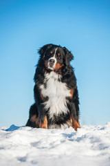 Bernese mountain dog sitting on the hill in winter